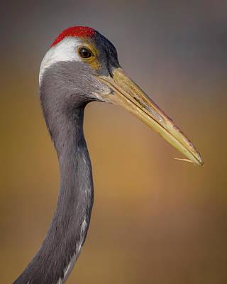 Photograph - Red Crowned Crane Headshot Zhangye Wetland Park Gansu China by Adam Rainoff