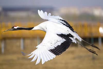 Photograph - Red Crowned Crane In Flight Zhangye Wetland Park Gansu China by Adam Rainoff