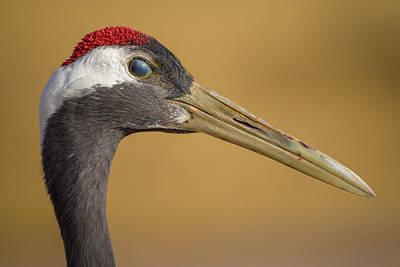 Photograph - Red Crowned Crane Inner Eyelid Zhangye Wetland Park Gansu China by Adam Rainoff