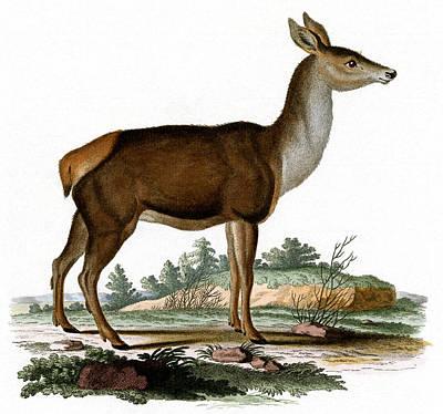 Painting - Red Deer Colored Engraving by German School