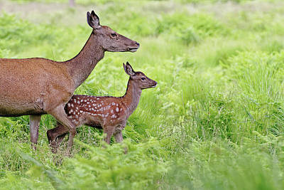 Red Deer Doe And Fawn Art Print by Mcdonald P. Mirabile