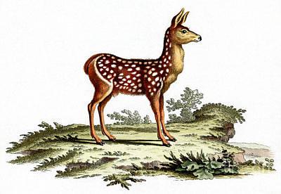 Painting - Red Deer Fawn by German School