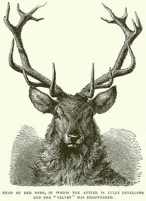 Drawing - Red Deer Head by English School