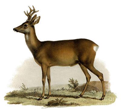 Painting - Red Deer With Antlers by German School