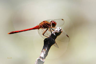 Photograph - Red Dragonfly by Christina Rollo