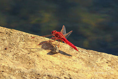 Photograph - Red Dropwing Dragonfly by Benny Marty