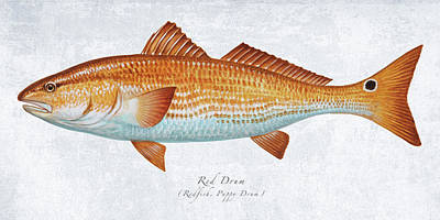 Wall Art - Painting - Red Drum Portrait by Guy Crittenden