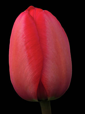 Moody Trees Rights Managed Images - Red Evening Tulip Royalty-Free Image by Johanna Hurmerinta