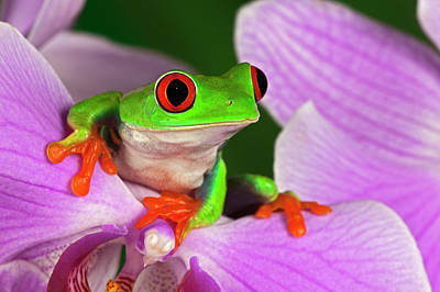 Photograph - Red-eyed Tree Frog by Adam Jones