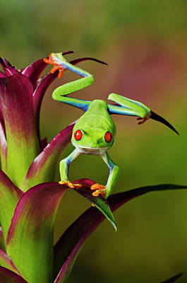 Photograph - Red-eyed Tree Frog, Agalychnis by Kitchin And Hurst