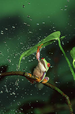 Photograph - Red-eyed Tree Frog Agalychnis by Michael Durham/ Minden Pictures