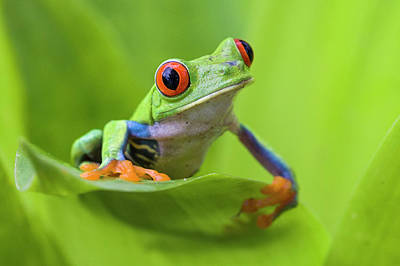 Photograph - Red-eyed Tree Frog Agalychnis by Suzi Eszterhas/ Minden Pictures