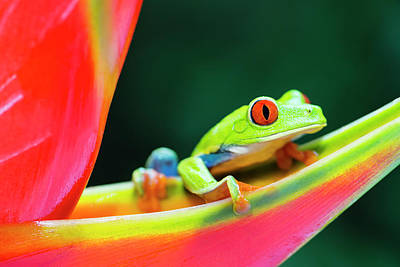 Photograph - Red-eyed Tree Frog Climbing On by Pchoui