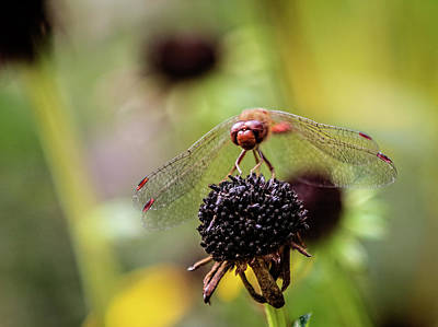 Photograph - Red Faced Dragonfly by Max Huber