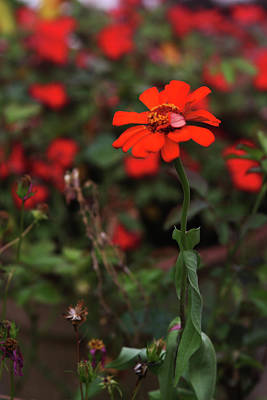 Photograph - Red Flower by Vadim Levin