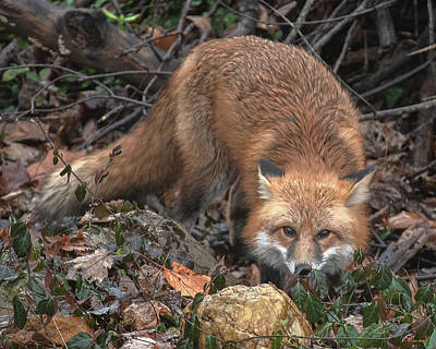 Photograph - Red Fox Dmam0050 by Gerry Gantt