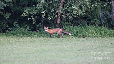 Wall Art - Photograph - Red Fox by Don Small Jr