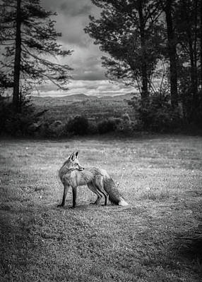 Photograph - Red Fox In Black And White by Bob Orsillo