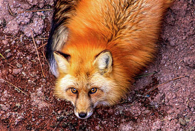 Photograph - Red Fox In Canyon, Arizona by Dawn Richards