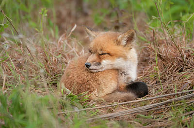 Photograph - Red Fox Kit - Sleeping #2 by Todd Henson