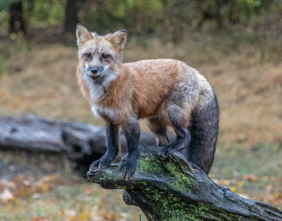 Photograph - Red Fox Perched On A Mossy Log by Teresa Wilson