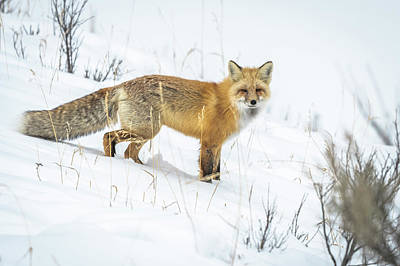 Photograph - Red Fox by Russell Cody