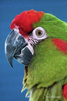 Best Sellers - Dan Beauvais Royalty-Free and Rights-Managed Images - Red-Fronted Macaw 3761 by Dan Beauvais