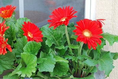 Sean Rights Managed Images - Red Gerbera Daisies Royalty-Free Image by Ee Photography