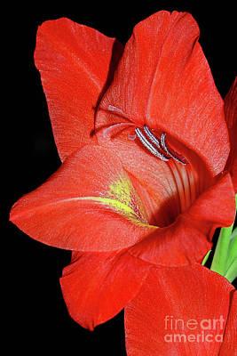 Photograph - Red Gladioli Macro By Kaye Menner by Kaye Menner