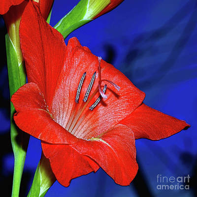 Photograph - Red Gladioli On Blue By Kaye Menner by Kaye Menner