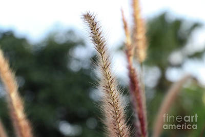 Photograph - Red Grass - Pennisetum Setaceum 'rubrum' by Rory Ivey