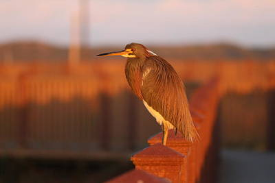 Photograph - Red Heron  by Christy Pooschke