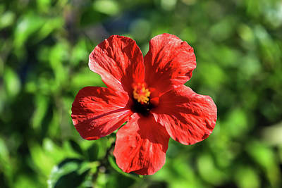 Photograph - Red Hibiscus by Uncle Arny