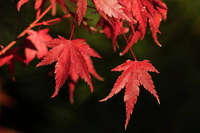 Photograph - Red Japanese Maple Leaves by Robert Potts