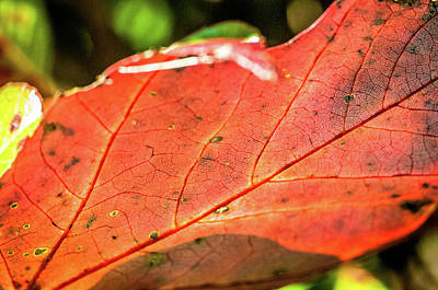 Photograph - Red Leaf by James L Bartlett