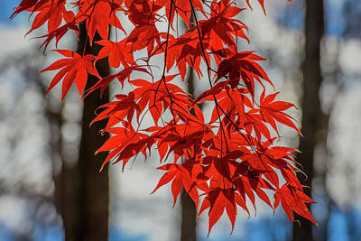 Photograph - Red Leaves by Cindy Lark Hartman