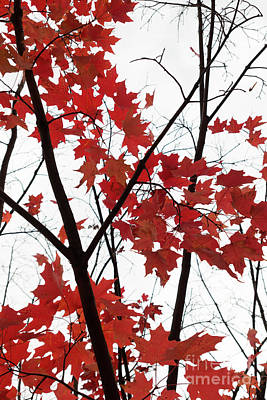 Photograph - Red Maple Branches by Ana V Ramirez