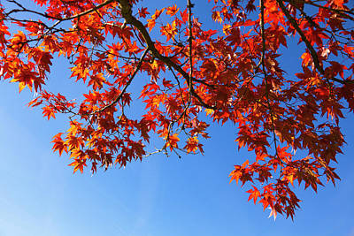 Autumn Photograph - Red Maple In Autumn, Bavaria, Germany by F. Lukasseck