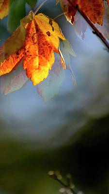 Photograph - Red Maple Leaf And Branch by Jerry Sodorff