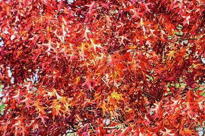 Photograph - Red Oak Foliage by Frans Blok