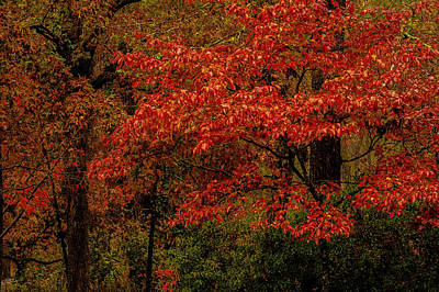 Photograph - Red Oaks And Dogwoods by John Harding