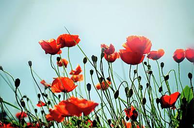 Poppy Flowers Photographs For Sale
