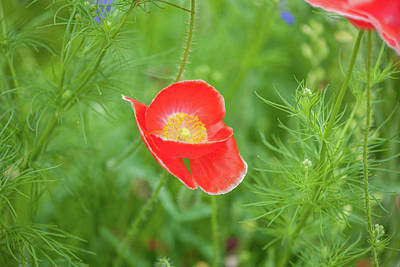 Photograph - Red Poppy by Mark Duehmig