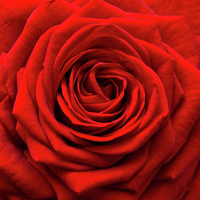 Indoors Photograph - Red Rose by Anthony Dawson
