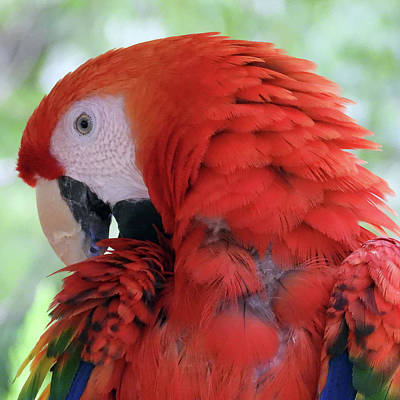 Wall Art - Photograph - Red Scarlet Macaw by David G Paul