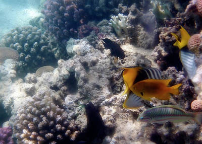 Photograph - Red Sea Fish And Corals In Soft Light by Johanna Hurmerinta