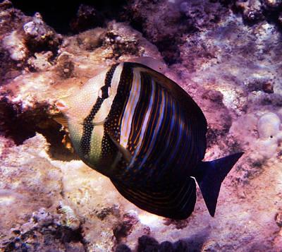 Photograph - Red Sea Sailfin Tang Photoart by Johanna Hurmerinta
