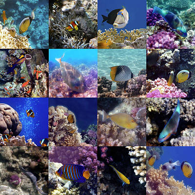 Photograph - Red Sea Sealife Collage By Hurmerinta by Johanna Hurmerinta