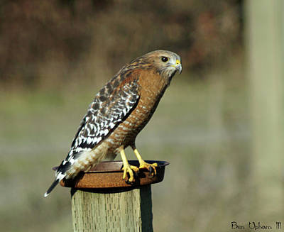 Photograph - Red-shouldered Hawk by Ben Upham III