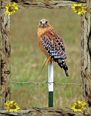 Photograph - Red-shouldered Hawk In Redwood Frame With Sunflowers by Ben Upham III